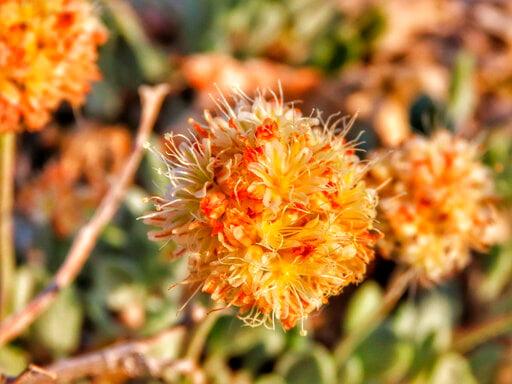 Judge sets deadline for rare Nevada plant-listing decision