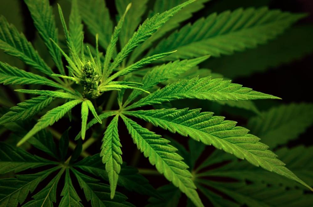 7 Marijuana Stocks Worth Speculating On